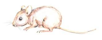 Staunbaum: die Maus